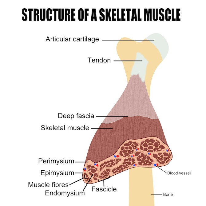 structure of a muscle